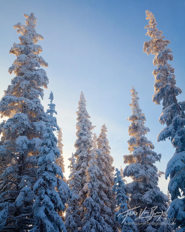 Frozen Trees, Hurricane Ridge, Olympic National Park