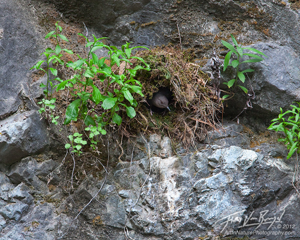 American Dipper Nest, San Gabriel Mountains, California, photo