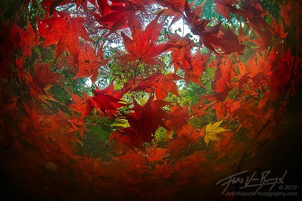 Unique Underwater Autumn Maple Leaves, Seattle Arboretum, Washington