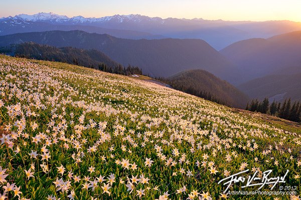 Avalanche Lilies, Olympic National Park, Washington