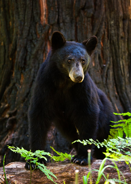 Black Bear King S Canyon National Park Art In Nature
