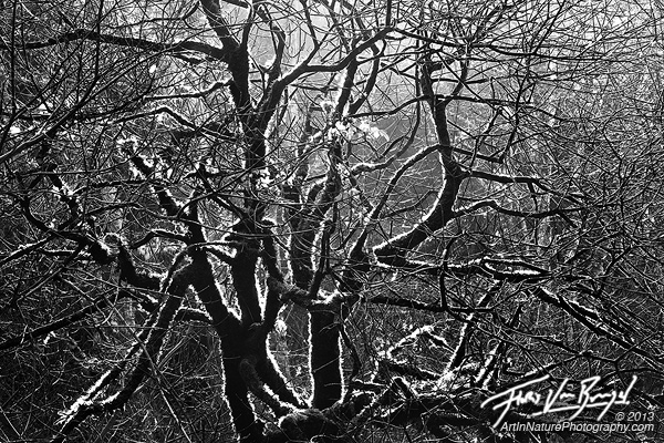 Black and White Tree, Van Damme State Park, California