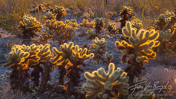 Cholla Cacti, Sunlight, Anza-Borrego