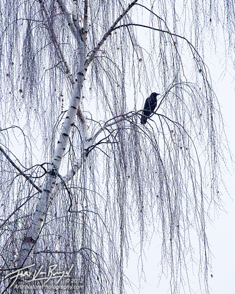 Winter Mourning, Crow, Seattle Washington, photo