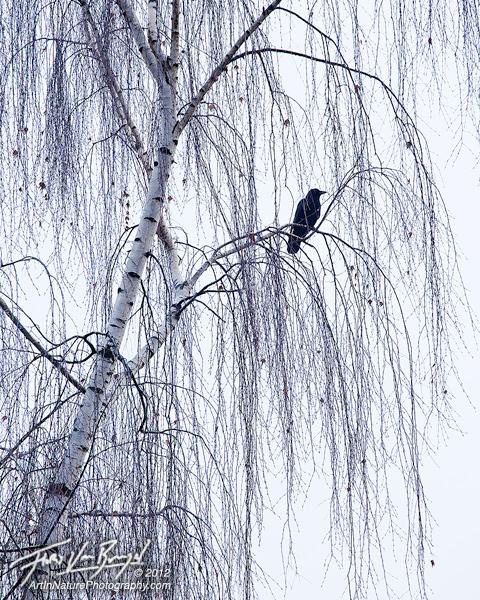 Winter Mourning, Crow, Seattle Washington, photo
