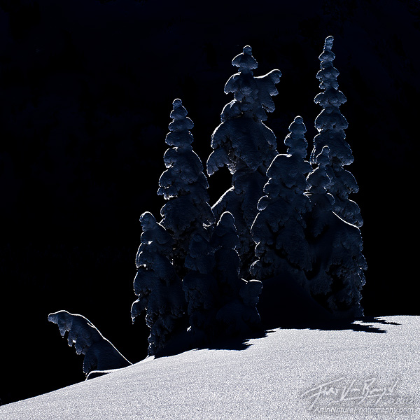 Snow Encrusted Trees, Mount Rainier National Park, Washington, photo