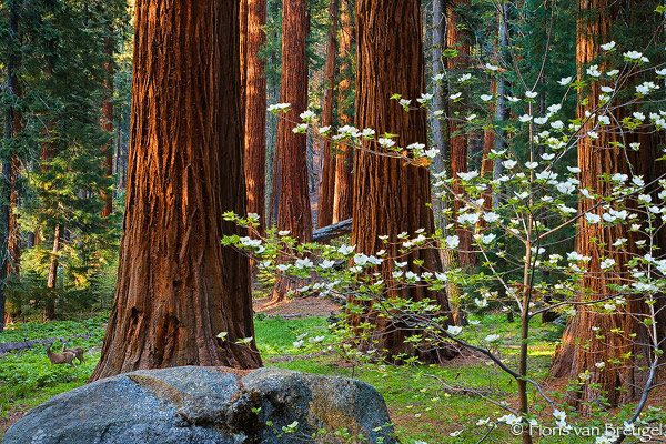 Spring Dogwoods With Giant Sequoias And Deer Sequoia