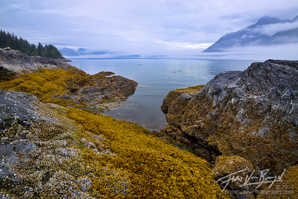 Golden Seaweed at Lowtide, Glacier Bay, Alaska