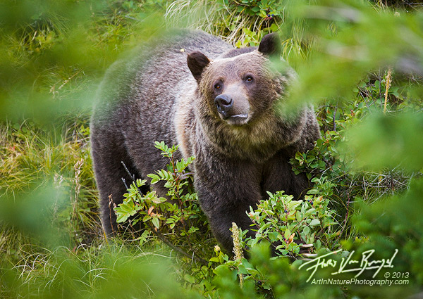 an analysis of grizzly bears in glacier national park