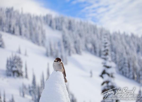 Gray Jay in Snowy Landscape, Mt Rainier, Washington, photo