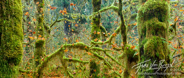 Hoh Rainforest Fall, Olympic National Park, Washington