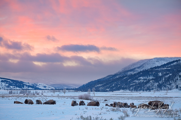 Bison Herd at Sunrise, Lamar Valley, Yellowstone National Park