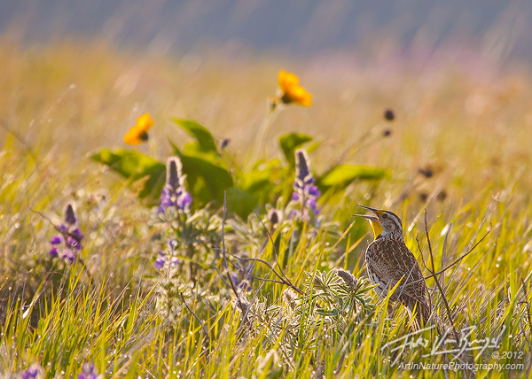 Meadowlark Singing in Flowers, Columbia Hills, Washington, photo