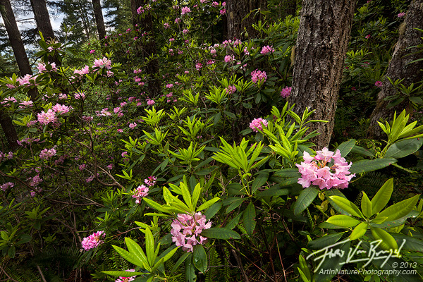 Wild Rhododendrons, Olympic National Forest, Washington