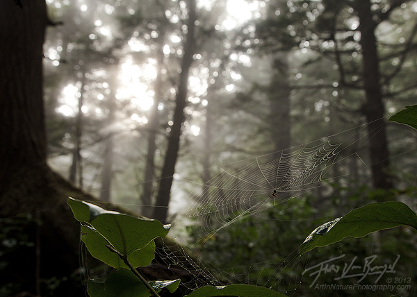 Spider Web, Misty Forests, Olympic National Park