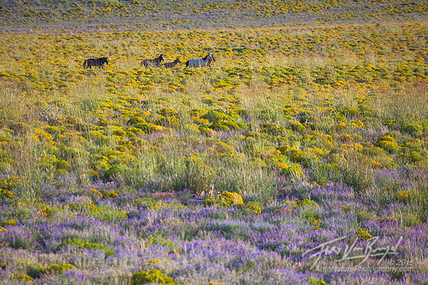 Wild Horses, Flowers, California