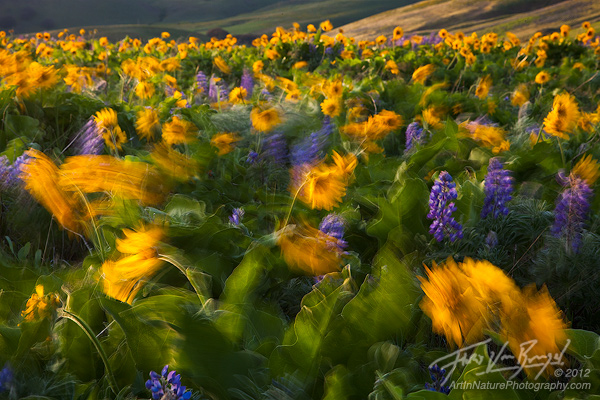 Wind Blown Flowers in Columbia Hills, Washington, Spring, photo