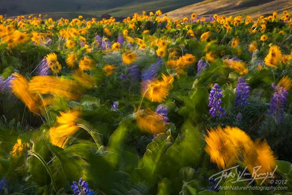 Wind Blown Flowers in Columbia Hills, Washington, Spring, photo