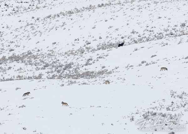 Wolf Pack, Lamar Valley, Yellowstone National Park