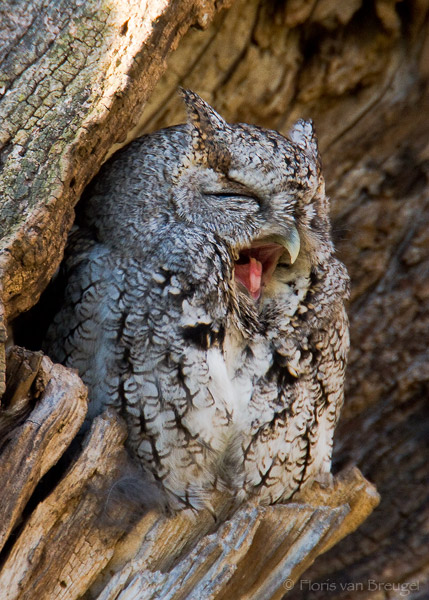 Cute Owl (Eastern Screech-Owl - Otus asio), Ithaca : Art ...
