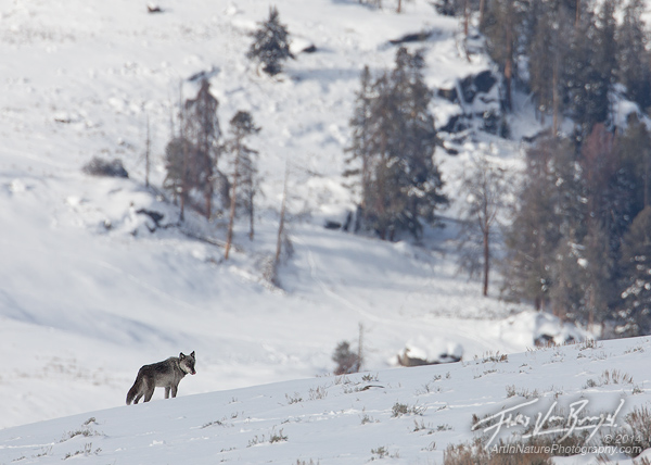 Yellowstone Wolf, Lamar Valley, Yellowstone National Park
