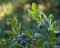 Cascade Bilberries print