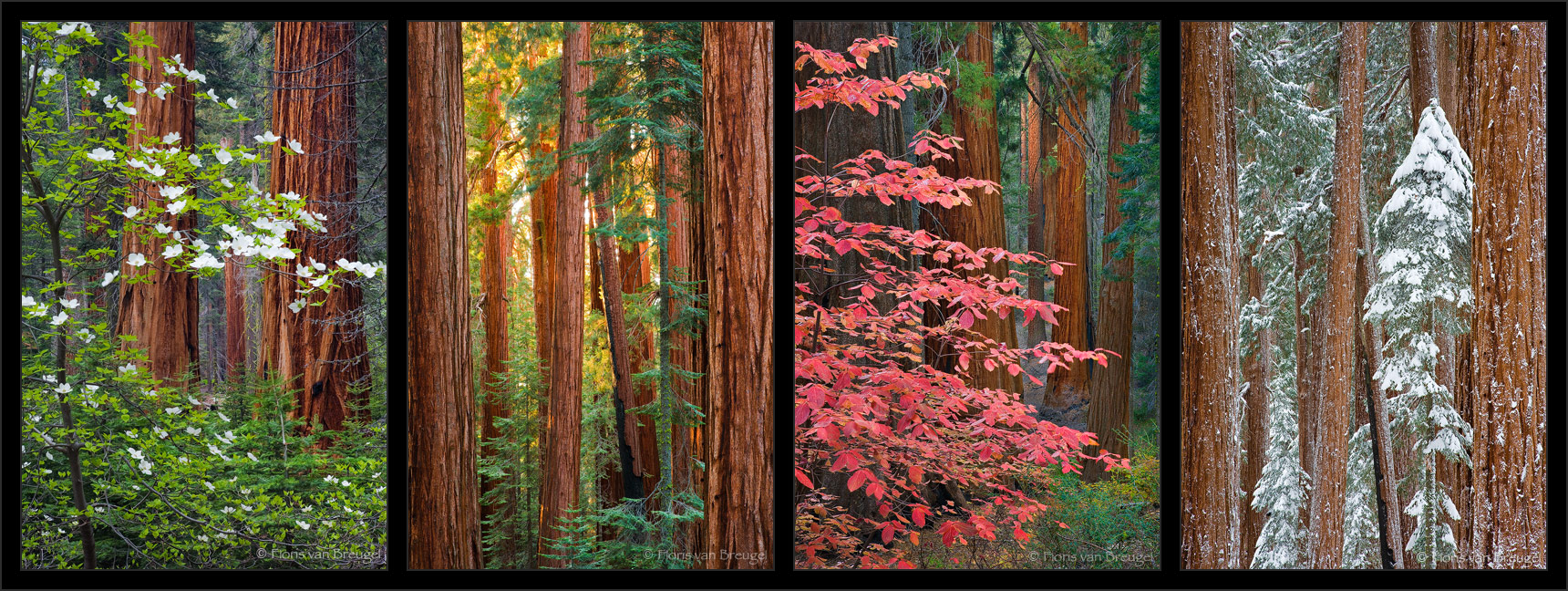 Sequoias Four Seasons, Sequoia National Park, California, dogwoods, spring, fall, summer, winter, photo