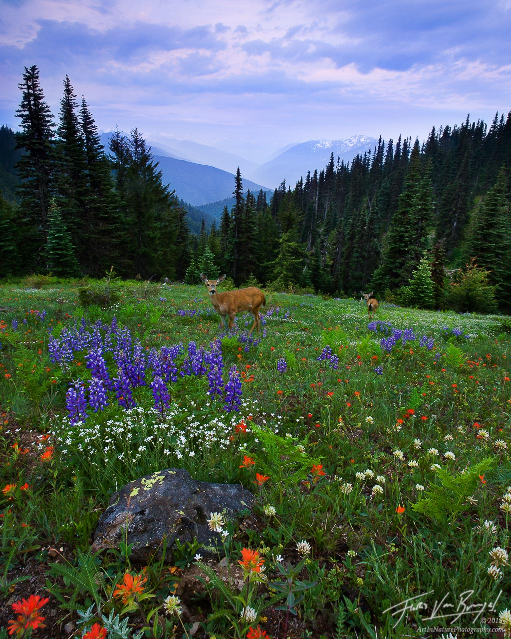 Mule Deer in Flowers on Hurricane Ridge, Olympic National Park, Washington, alpine morning, spring, meadows, photo