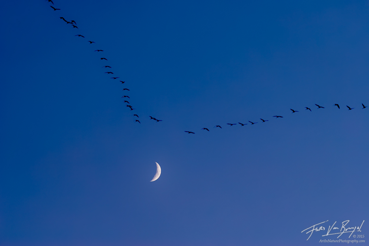 Fall Migration and Moon, Ithaca, New York, Branta canadensis, canada goose, photo