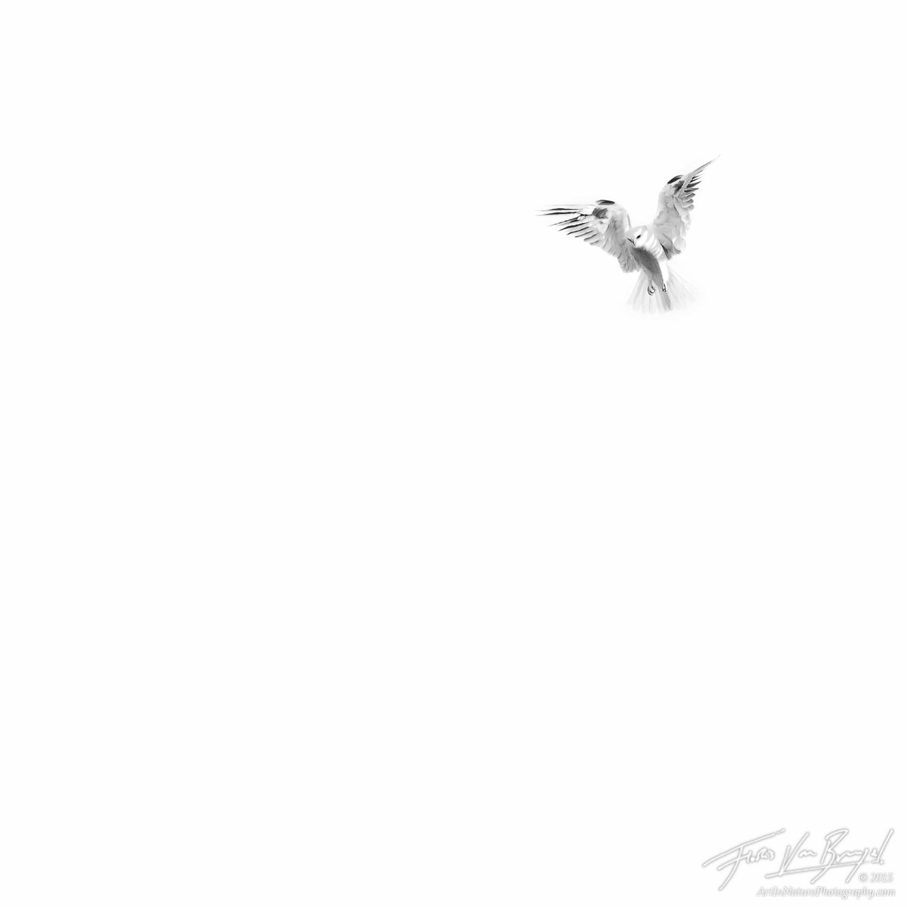 Angelic White-tailed Kite, Mount Diablo State Park, California, Elanus leucurus, photo