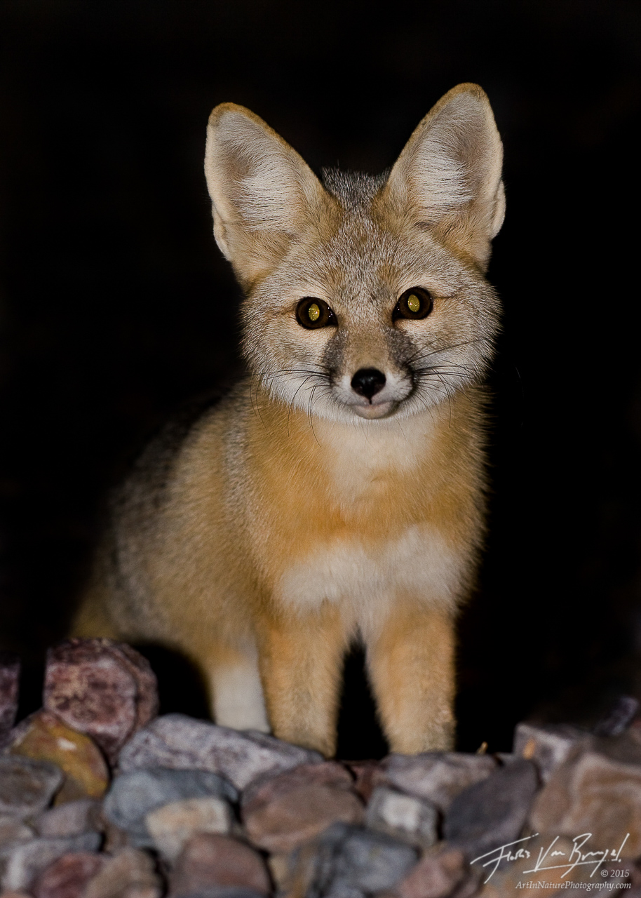 Kit Fox (Vulpes macrotis), Death Valley National Park, desert, nocturnal, , photo