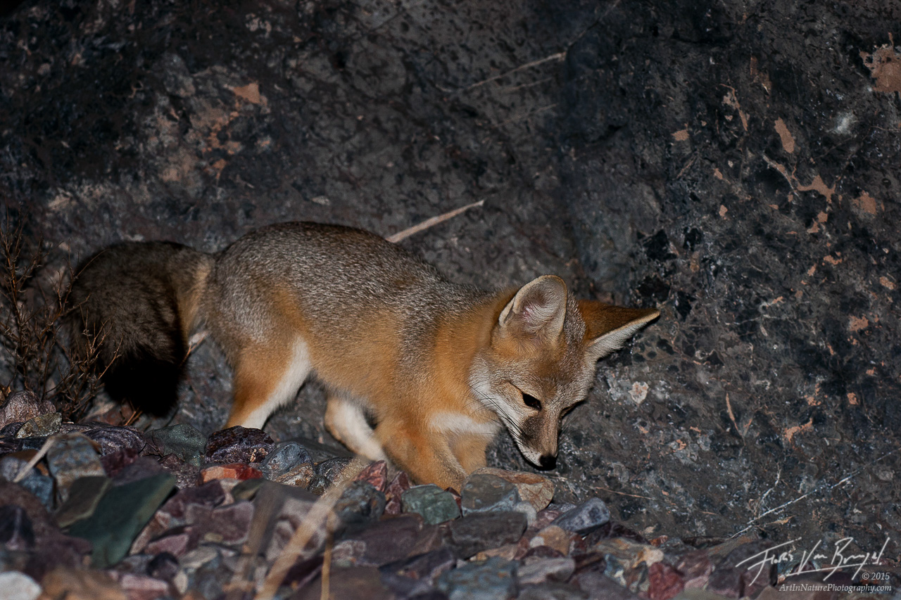 Kit Fox, Death Valley National Park, California, photo