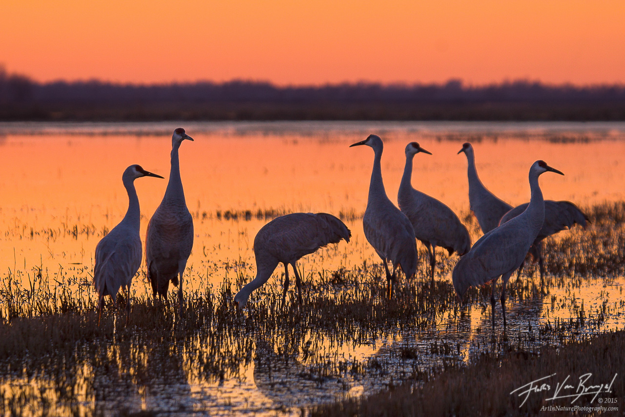 Sandhill Cranes, Sacramento National Wildlife Refuge, California, photo
