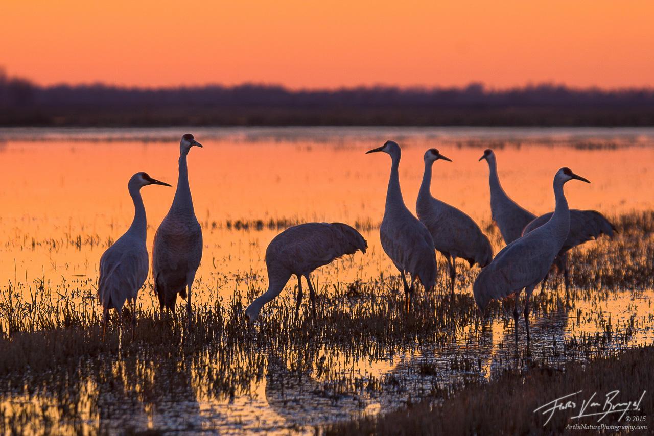 Sandhill Cranes, Sacramento National Wildlife Refuge, California, photo