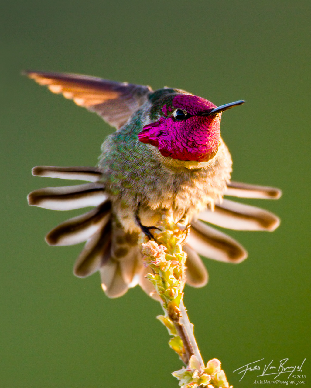 Anna's Hummingbird Stretching, Mount Diablo State Park, rolling hills, Calypte anna , photo
