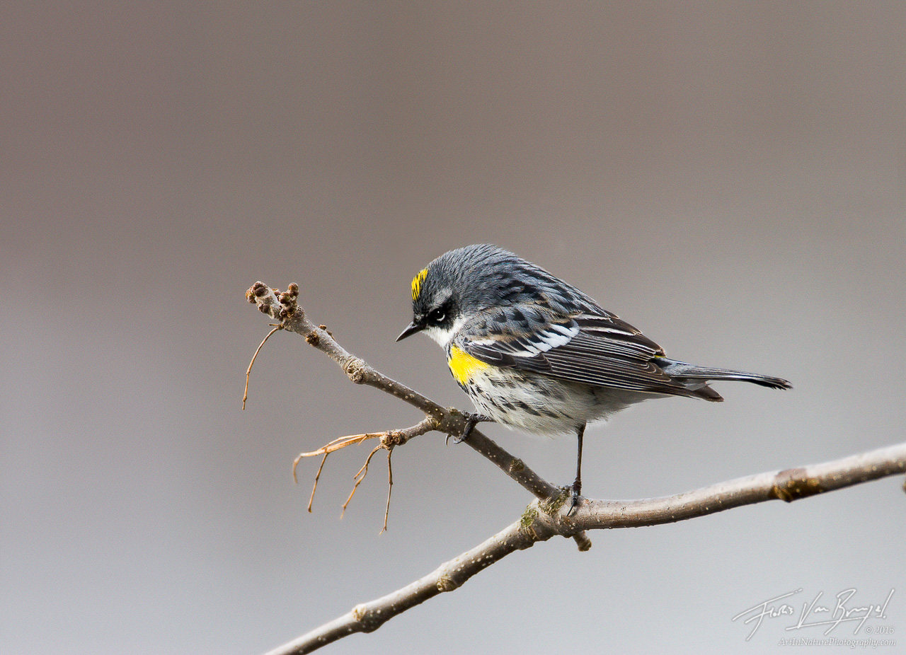 Yellow-rumped Warbler (Dendroica coronata), Ithaca, New York, migrant, sapsucker woods, photo