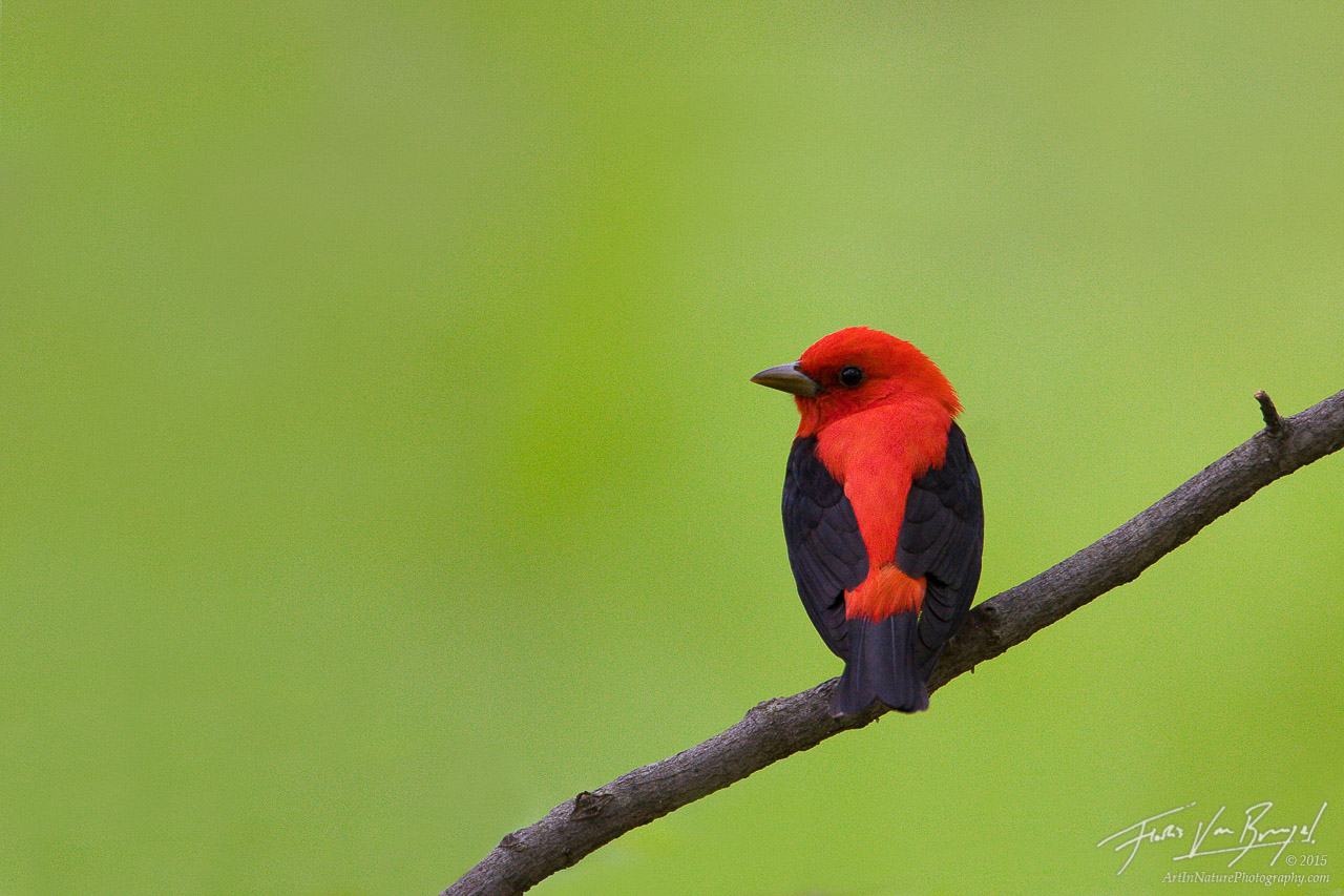 Scarlet Tanager (Piranga olivacea), Sapuscker Woods in Ithaca, New York, , photo