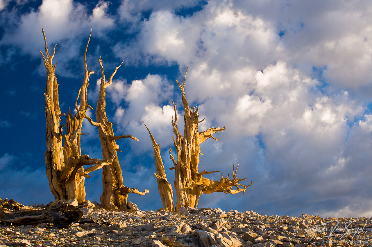 Ancient Bristlecone Pines at Sunrise, White Mountains, California, ancients awakening, clouds , photo