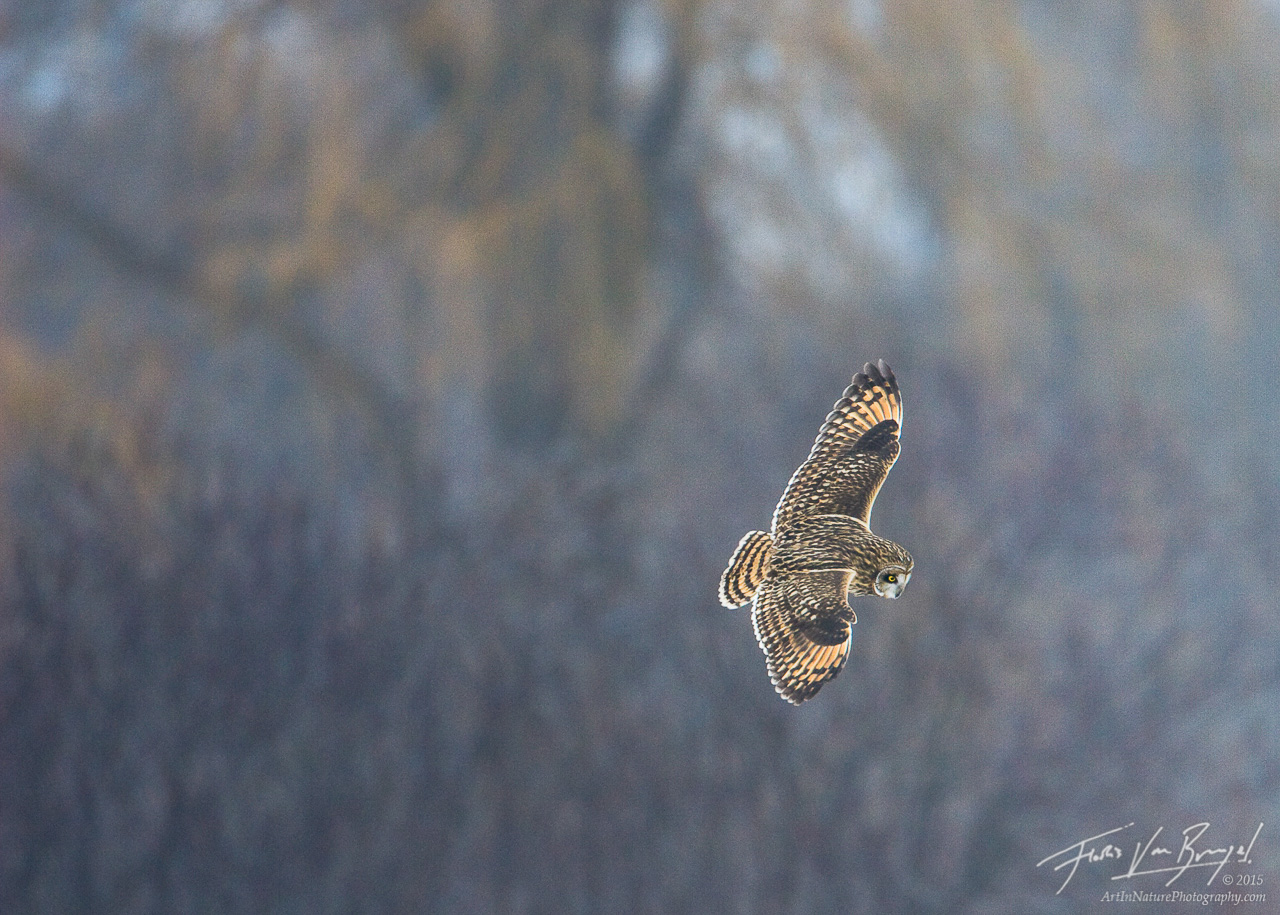 Short-eared Owl Hunting, Ithaca, New York, Asio flammeus,, photo
