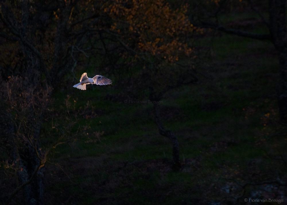 White-tailed Kite Hovering, Mount Diablo State Park, California, Elanus leucurus, photo