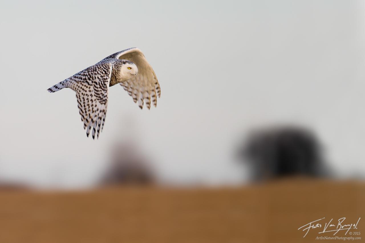 Snowy Owl Nyctea scandiaca, Wolfe Island, Canada, photo