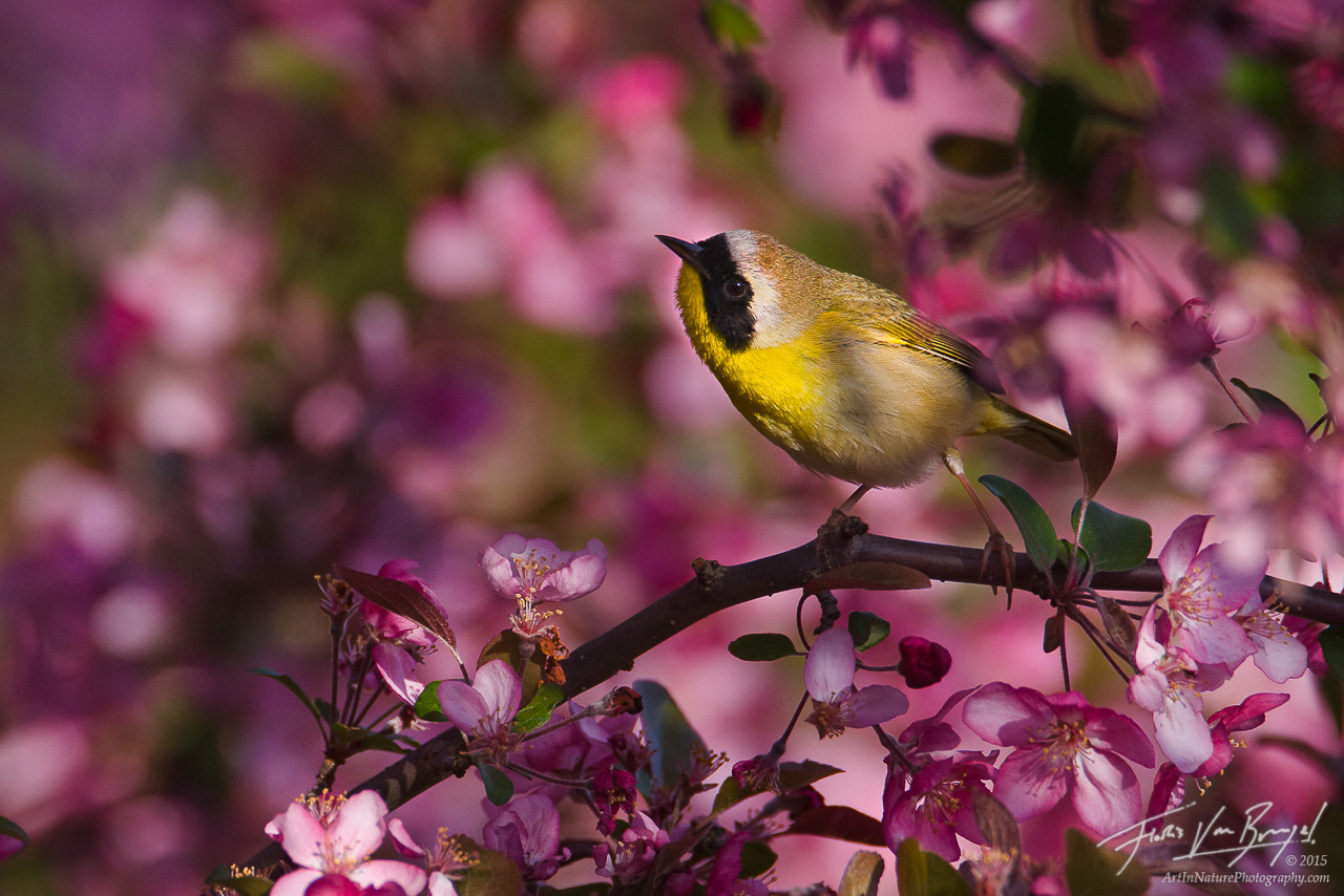 Common Yellowthroat (Geothlypis trichas) in Spring, Ithaca, Upstate New York, photo