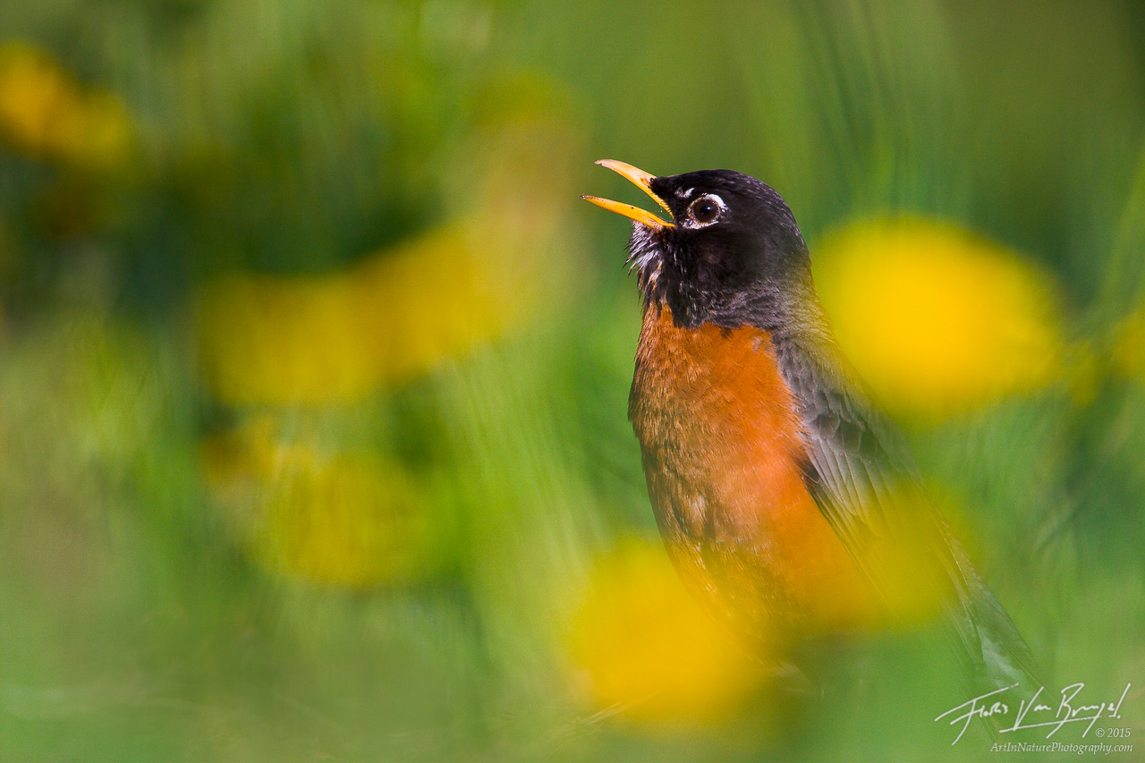 American Robin Singing in Spring, Ithaca, New York, Turdus migratorius, photo