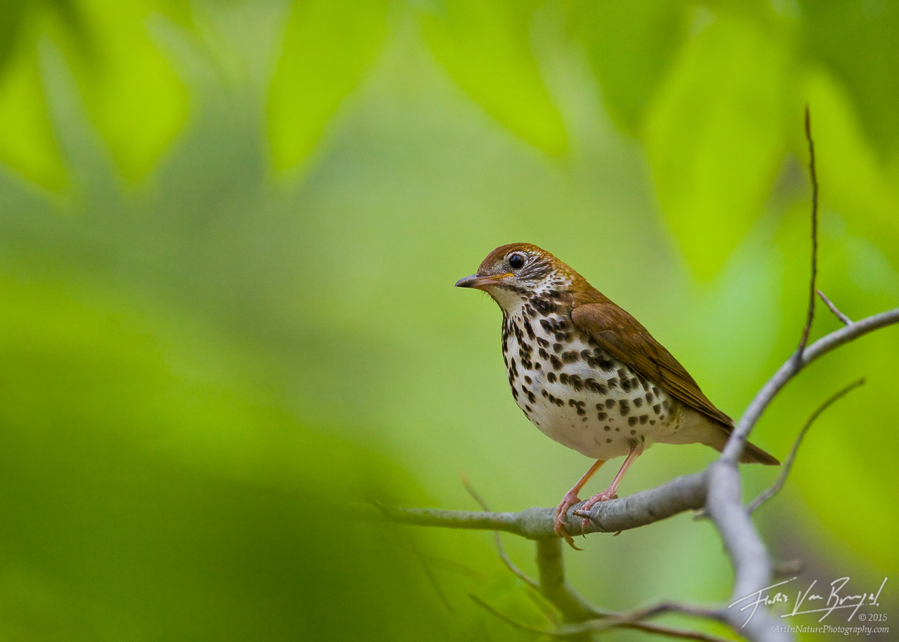 Wood Thrush Hylocichla mustelina, Sapsucker Woods in Ithaca, New York, photo