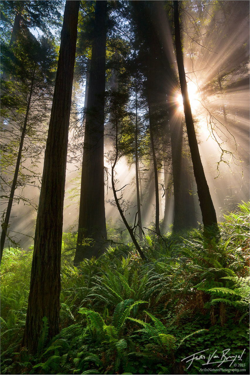 Sun Rays and Fog, Redwood National Park, California, jurassic light, photo
