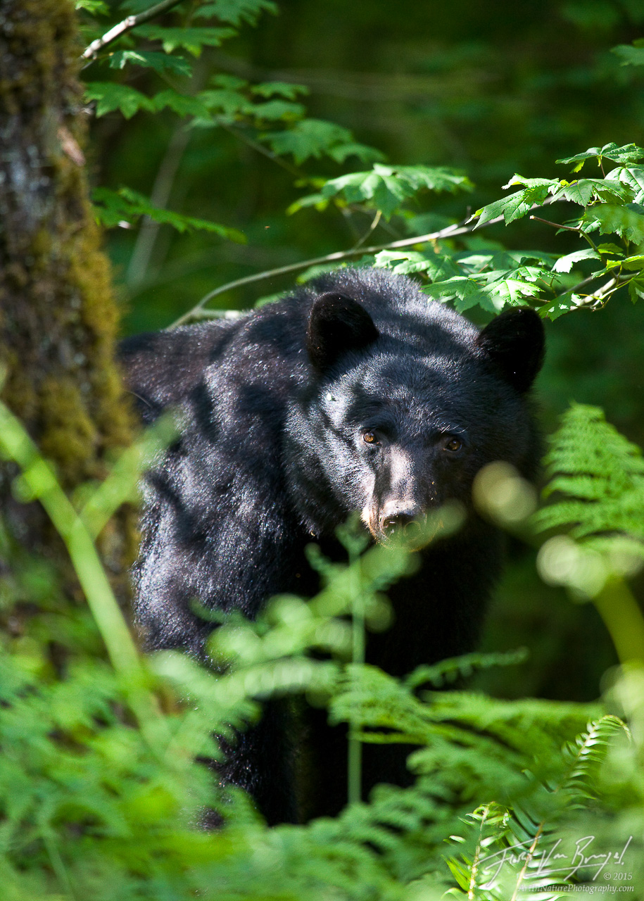 Black Bear, Olympic National Park, Washington, photo