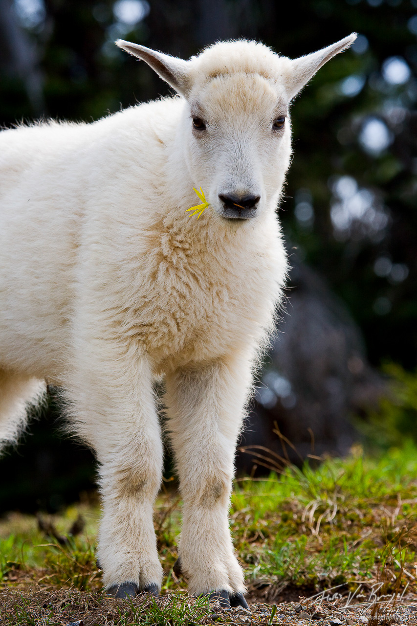 Young Mountain Goat, Olympic National Park, Washington, mountain goatling, photo