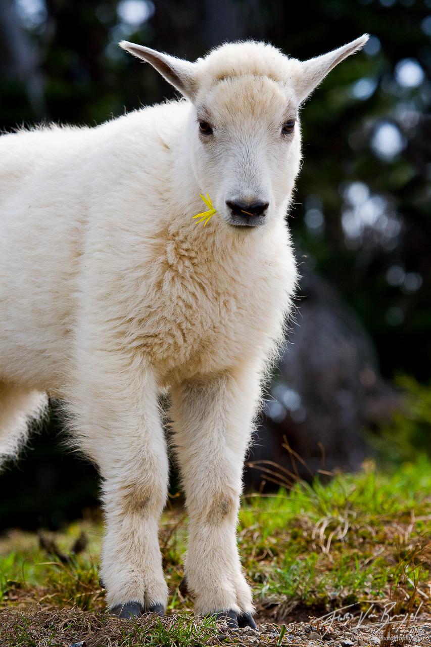 Young Mountain Goat, Olympic National Park, Washington, mountain goatling, photo
