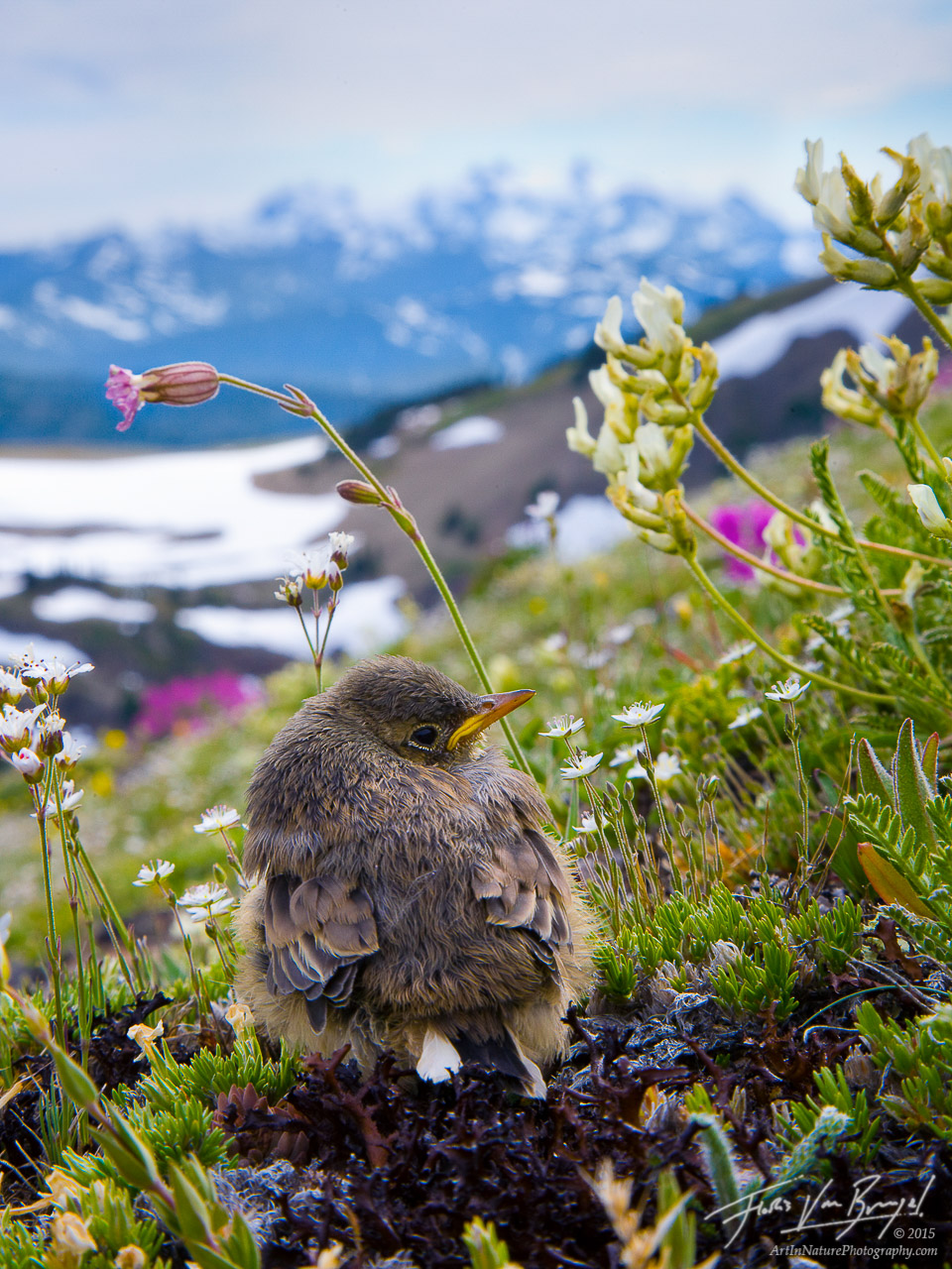 Baby Bird and Flowers, Olympic National Park, Washington, life in the alpine, hurricane ridge, american pipit, photo