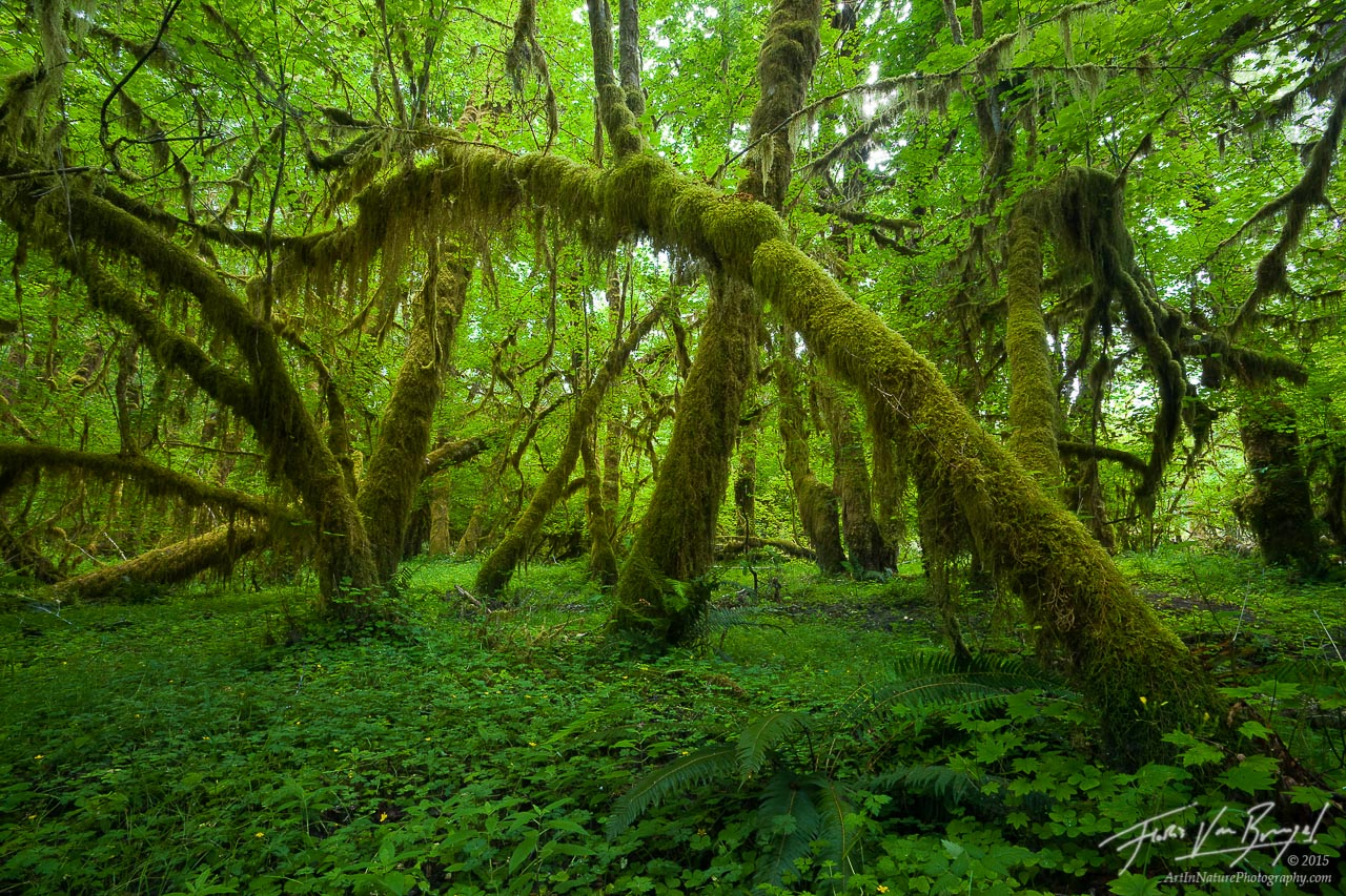 Mossy Trees in the Queets, Olympic National Park, Washington, bowing to the moss,, photo